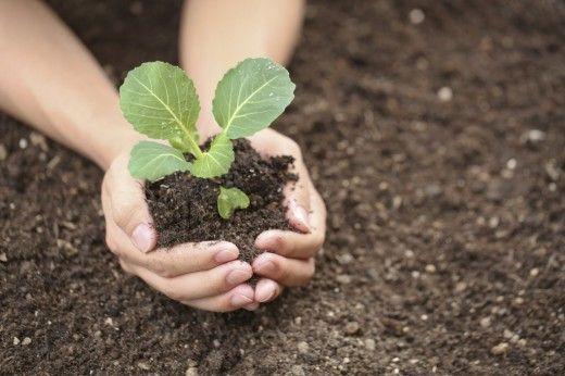 А ви вмієте вирощувати капусту в домашніх умовах - розсада