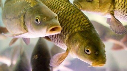 Ловля коропа - опис риби, правила риболовлі