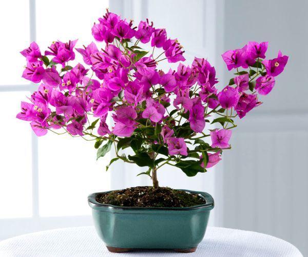 Особливості вирощування бугенвиллии в домашніх умовах - від посадки до обрізки
