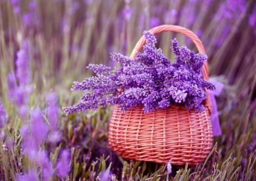 Особливості вирощування лаванди в домашніх умовах і тонкощі сезонного догляду