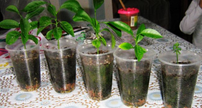 Плодоносний лимон в домашніх умовах: вирощуємо лимон з кісточки