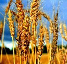 Застосування масла зародків пшениці в домашній косметології