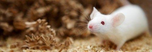 Способи відлякати мишей - перелік відлякують коштів
