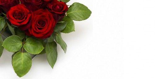 Можливі причини, чому жовтіє листя у троянди - хвороби, комахи або неправильний догляд