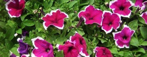 Вирощуємо петунії з насіння в домашніх умовах - правила догляду